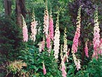 foxgloves in wild garden